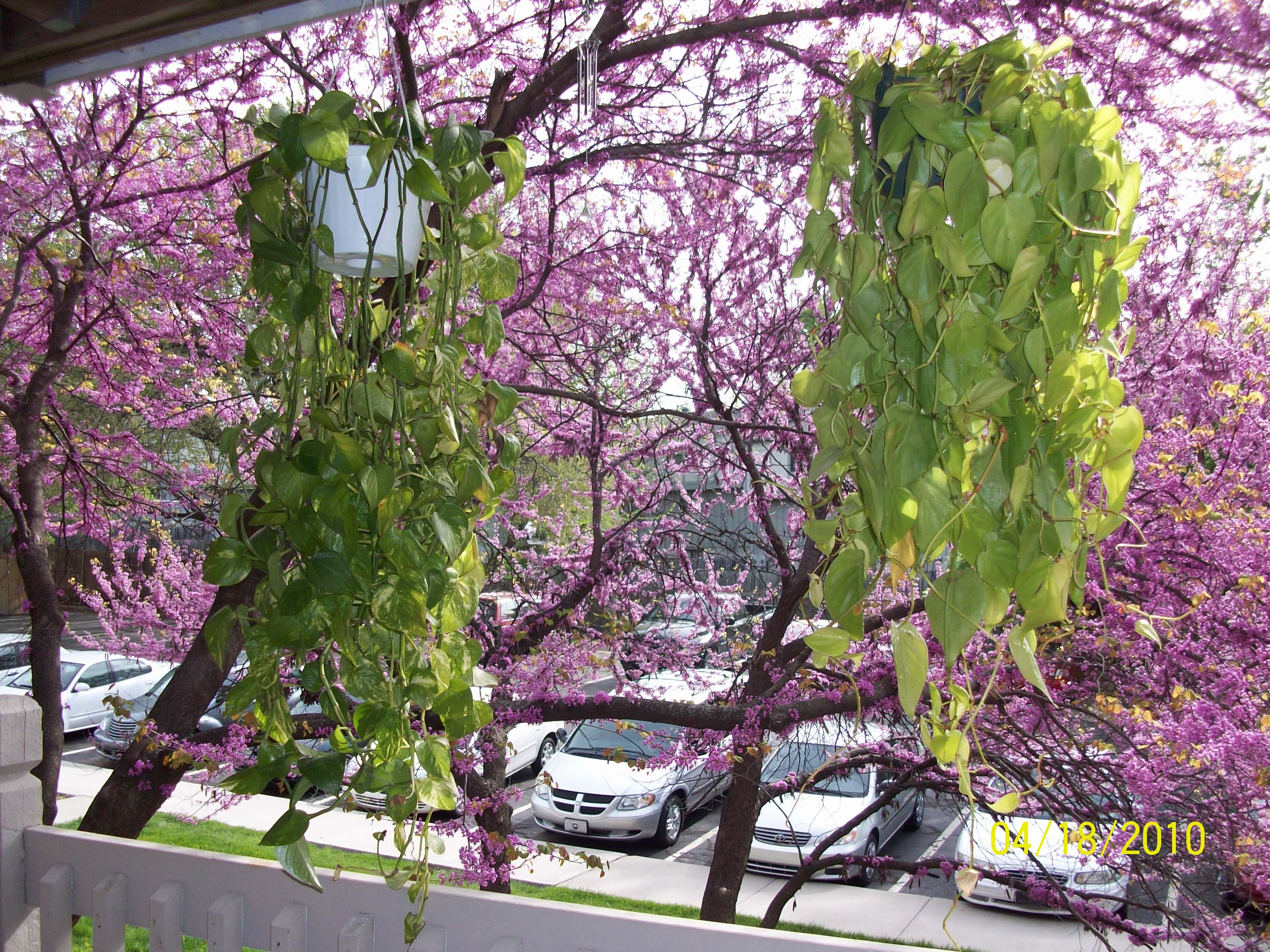 Herman and Stella, in all their glorious splendor, hanging from my old balcony in Beautiful Lenexa.